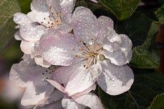 Malus dell'Apple-albero del fiore bianco Fotografie Stock