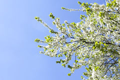 Malus domestica. Apple Tree blossom against blue cloudy sky Royalty Free Stock Image