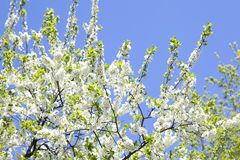 Malus domestica. Apple Tree blossom against blue cloudy sky. The Malus domestica. Apple Tree blossom against blue cloudy sky Royalty Free Stock Images