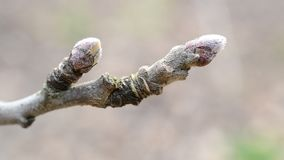 Malus domestica. Close-up of buds on apple tree branch in spring stock video footage