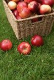 Malus domestica Discovery. Autumn apple harvest. Variety Malus domestica Discovery Stock Photos