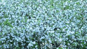 Malus domestica. White apple tree blossom fills the frame stock video footage