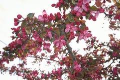Malus floribunda purpurea in der Blüte lizenzfreies stockbild