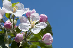 Malus flower Stock Image