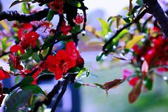 Begonia flower. Malus flowers, trees, up to 8 m tall; branchlets stout, cylindrical, pubescent at young age, gradually shedding, old red brown or purple brown Stock Photography