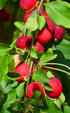 Malus. Is a genus of about 30–55 species of small deciduous apple trees or shrubs in the family Rosaceae, including the domesticated orchard apple M. pumila Stock Photos