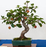 Malus halliana as bonsai. Malus halliana (appel tree) as bonsai in a pot Stock Images