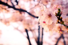 Malus halliana flower background in spring.  Stock Photo