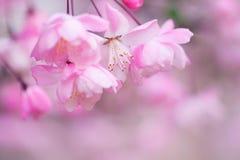 Malus halliana flower in spring. 2014 Stock Photo