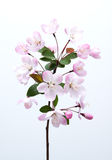 Malus halliana flower in spring. Malus halliana flower isolated in spring Royalty Free Stock Photography