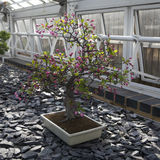 Malus halliana Hall crabapple bonsai tree Royalty Free Stock Photos