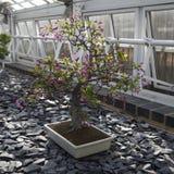 Malus halliana Hall crabapple bonsai tree. THE Malus halliana Hall crabapple bonsai tree Royalty Free Stock Photos