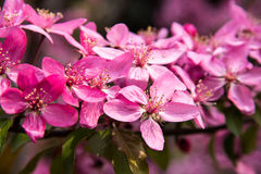 Malus Halliana Koehne. Flowering crabapple, Malus halliana, or Begonia, flowers Chinese characteristics Royalty Free Stock Images