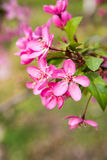 Malus Halliana Koehne. Flowering crabapple, Malus halliana, or Begonia, flowers Chinese characteristics Stock Image