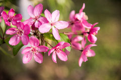 Malus Halliana Koehne. Flowering crabapple, Malus halliana, or Begonia, flowers Chinese characteristics Stock Photography