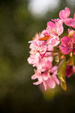 Malus Halliana Koehne. Flowering crabapple, Malus halliana, or Begonia, flowers Chinese characteristics Stock Photos
