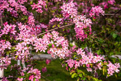 Malus Halliana Koehne. Flowering crabapple, Malus halliana, or Begonia, flowers Chinese characteristics Stock Photo