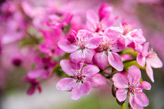 Malus Halliana Koehne. Flowering crabapple, Malus halliana, or Begonia, flowers Chinese characteristics Royalty Free Stock Photo