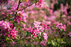 Malus Halliana Koehne. Flowering crabapple, Malus halliana, or Begonia, flowers Chinese characteristics Royalty Free Stock Photos