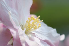 Malus micromalus. The close-up of Malus micromalus's flower Stock Image