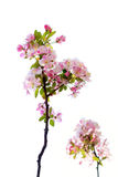 Malus micromalus Royalty Free Stock Images
