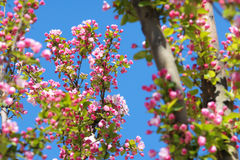 Malus micromalus. The Malus micromalus are blooming Royalty Free Stock Images