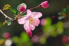 Malus micromalus. The close-up of flower and buds of Malus micromalus Stock Photo