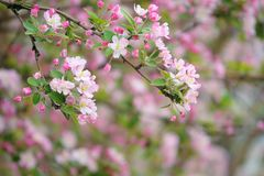 Malus micromalus. The close-up of flower and buds of Malus micromalus Royalty Free Stock Images