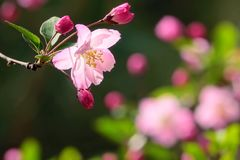 Malus micromalus. The close-up of flowers of Malus micromalus Stock Image