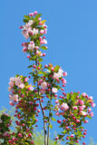 Malus micromalus. The close-up of flowers of Malus micromalus Stock Photos