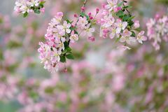 Malus micromalus flowers. The Malus micromalus are blooming in the spring Stock Images