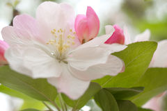 Malus. In a park, Beijing, China Royalty Free Stock Photography