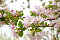 Malus. In a park, Beijing, China Royalty Free Stock Photos