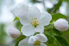 Malus. In a park, Beijing, China Stock Image
