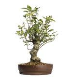 Malus Perpetu bonsai tree, isolated Royalty Free Stock Photo