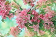 Malus prunifolia Royalty Free Stock Image