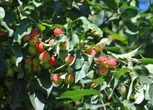 Malus prunifolia tree with apple Royalty Free Stock Images