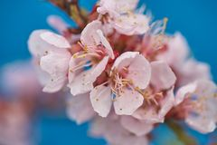 Malus pumila apple-tree in small DOF. Malus pumila - natural lovely pink fragrant spring flowers of a paradise apple-tree in small DOF Royalty Free Stock Photos