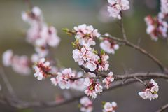 Malus pumila apple-tree in small DOF. Malus pumila - natural lovely pink fragrant spring flowers of a paradise apple-tree in small DOF Stock Photos
