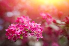 Gentle lovely pink fragrant spring flowers of a paradise apple-tree. Malus pumila - Beautiful gentle lovely pink fragrant spring flowers of a paradise apple-tree royalty free stock photos