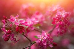 Gentle lovely pink fragrant spring flowers of a paradise apple-tree. Malus pumila - Beautiful gentle lovely pink fragrant spring flowers of a paradise apple-tree royalty free stock photography