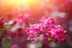Gentle lovely pink fragrant spring flowers of a paradise apple-tree. Malus pumila - Beautiful gentle lovely pink fragrant spring flowers of a paradise apple-tree stock images