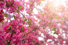 Gentle lovely pink fragrant spring flowers of a paradise apple-tree. Malus pumila - Beautiful gentle lovely pink fragrant spring flowers of a paradise apple-tree stock image