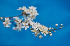 Malus pumila apple-tree in small DOF. Malus pumila - natural lovely pink fragrant spring flowers of a paradise apple-tree in small DOF Royalty Free Stock Photo