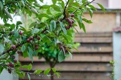 Malus purpurea. Decorative apple in the rain Stock Photos