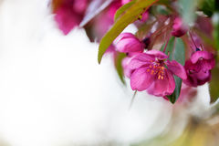 Malus purpurea. Tree blooming in spring Stock Photo