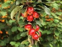 Malus Redlane Apple-tree. With leefs background Royalty Free Stock Photo