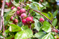 Malus RedSentinel Stock Photography
