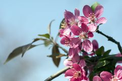 Malus royalty, ornamental apple tree, springtime, purple pink flowers on branches. Blue sky and sunlight stock photo
