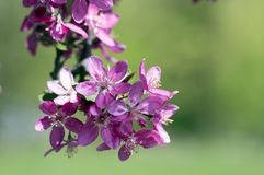 Malus royalty, ornamental apple tree, springtime, purple pink flowers on branches. Green background and sunlight stock photo